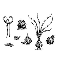 Garlic botanical sketch vector