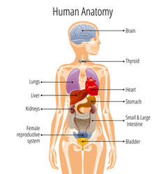 Human body anatomy woman internal organ vector