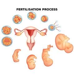 Fertilisation process on human vector image