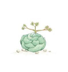 Hand drawn sketch crassula alstonii succulents vector
