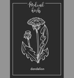 dandelion flower medical herb sketch botanical vector image