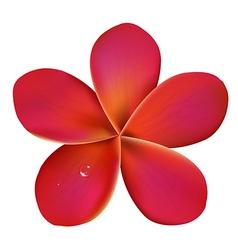 Pink Frangipani With Water Drops vector image vector image