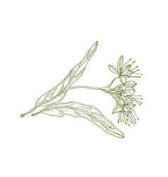 Gorgeous outline drawing of linden leaves vector