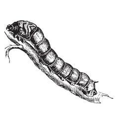 Silkworm vintage vector