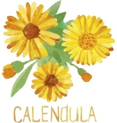 Calendula Handmade watercolor drawing vector image