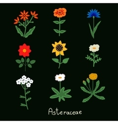 Asteraceae Flowers Set vector image