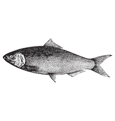 Atlantic Shad engraving vector