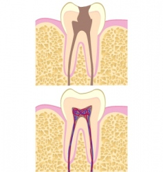 tooth anatomy vector image vector image