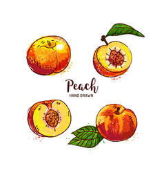 peach fruit drawing ripe peach fruit cut in half vector image