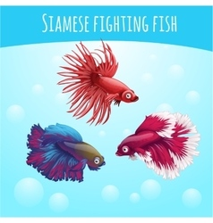 Three siamese fighting fish on a blue background vector