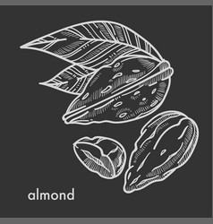 Delicious tropical almond in shell with small vector