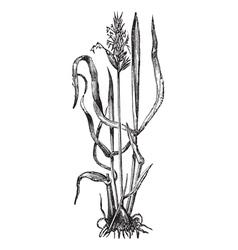 sweet vernal grass engraving vector image vector image