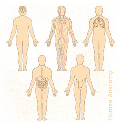 Human anatomy drawn in vector