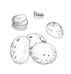 Potato hand drawn isolated vector