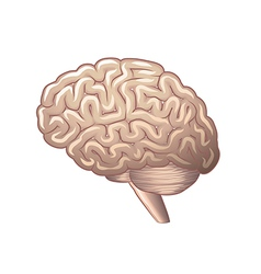 brain isolated vector image vector image