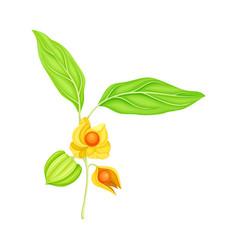 Indian ginseng or ashwagandha plant with hanging vector