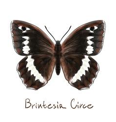 Butterfly Brintesia Circe Watercolor imitation vector image vector image