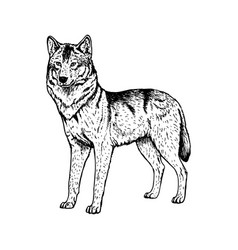 hand drawn wolf black white sketch vector image