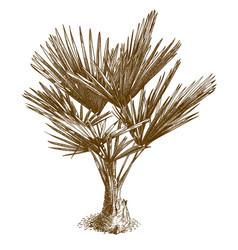 engraving of washingtonia palm vector image