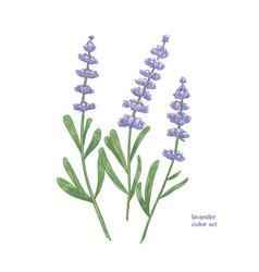 Elegant botanical drawing lavender flowers and vector
