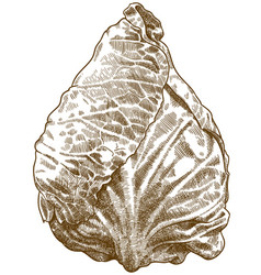 Engraving of pointed cabbage vector