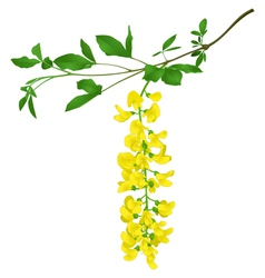 Green branch of yellow acacia isolated on white vector