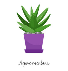 Agave montana cactus in pot vector