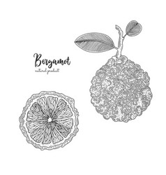 Hand drawn of bergamot isolated on vector