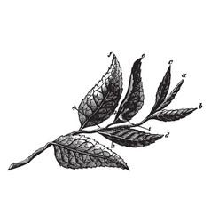 Plucked tea leaves vintage vector