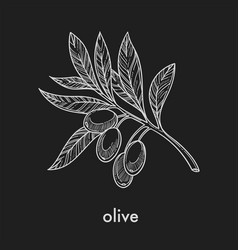 ripe olives on small branch with leaves monochrome vector image