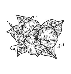 morning glory ipomoea flower sketch vector image