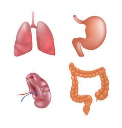 realistic human organs set anatomy vector image