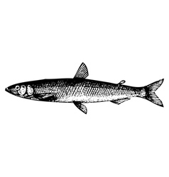 European smelt fish engraving vector