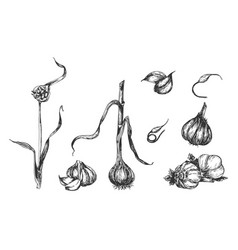 stages garlic plant sprouting vector image