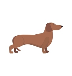 Light Brown Dachshund breed standing on white vector image