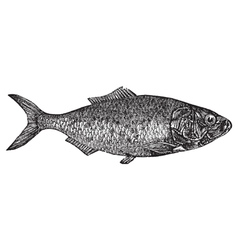 Shad river herring engraving vector image