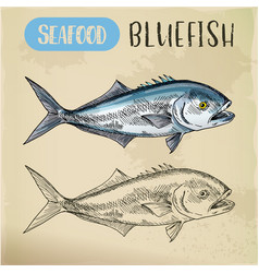 seafood sketch of bluefish sign vector image