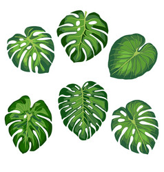 Tropical monstera leaves vector