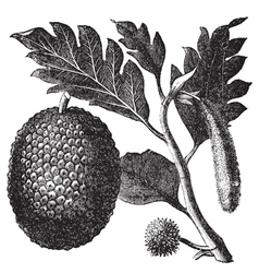 Breadfruit Artocarpe vintage engraving vector image vector image