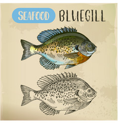 Bluegill sketch or hand drawn seafood vector