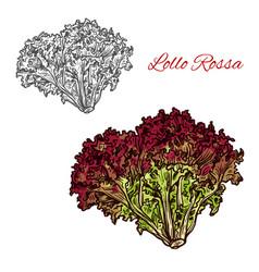 Red lollo rossa lettuce leaf vegetable sketch vector