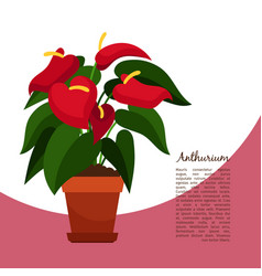 anthurium plant in pot banner vector image vector image