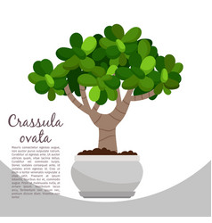 Crassula ovata plant in pot banner vector
