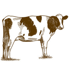 Engraving drawing of spotted cow vector