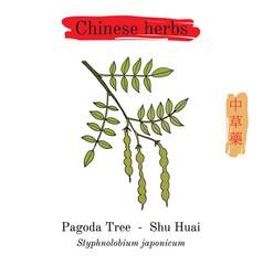 Medicinal herbs of china japanese pagoda tree vector