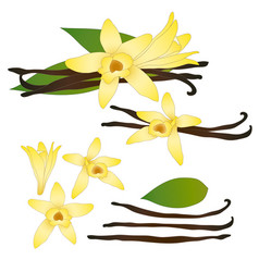 Vanilla planifolia flower and vanilla pods or vector