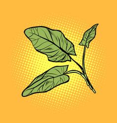 sorrel garden culinary plants spices vector image