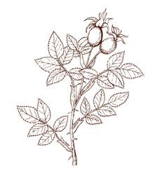 rosa frutettorum vector image