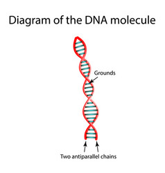 The structure dna molecule infographics vector