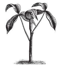 wild turnip old engraving vector image